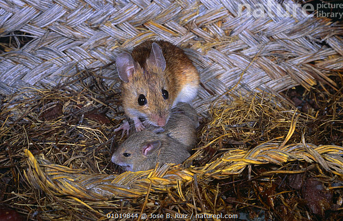 Wood mouse {Apodemus sylvaticus} in nest with young, Spain  ,  BABIES,EUROPE,FAMILIES,GROUPS,HOMES,MAMMALS,MICE,NESTS,RODENTS,SPAIN,VERTEBRATES,Muridae  ,  Jose B. Ruiz
