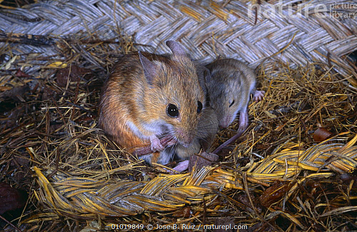 Wood mouse {Apodemus sylvaticus} in nest with young, Spain  ,  BABIES,EUROPE,FAMILIES,GROUPS,HOMES,MAMMALS,MICE,NESTS,PARENTAL,RODENTS,SPAIN,VERTEBRATES,YOUNG,Muridae  ,  Jose B. Ruiz