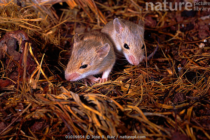 Young Wood Mice in nest. (Apodemus sylvaticus) Spain  ,  BABIES,EUROPE,RR,MICE,HORIZONTAL,NEST,TWO,HOMES,SPAIN,MAMMALS,RODENTS,YOUNG,MURIDAE  ,  Jose B. Ruiz