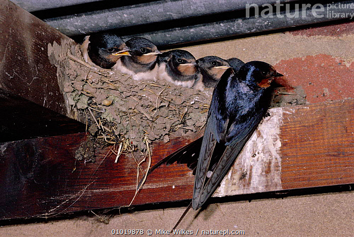 Barn Swallow at nest with chicks (Hirundo rustica) UK  ,  BABIES,BEHAVIOUR,BIRDS,BUILDINGS,ENGLAND,EUROPE,FAMILIES,MW,NESTS,PARENTAL,SUMMER,UK,YOUNG,UNITED KINGDOM,BRITISH  ,  Mike Wilkes