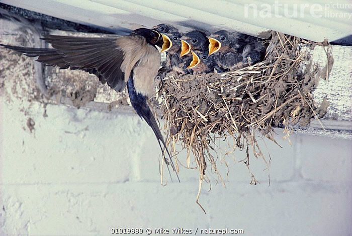 Barn Swallow feeding young in nest, UK  ,  BUILDINGS,ENGLAND,FIVE,NESTS,PARENTAL,FOUR,BIRDS,BABIES,SUMMER,UK,PASSERINES,EUROPE,MW,FAMILIES,HORIZONTAL,FEEDING,UNITED KINGDOM,BRITISH  ,  Mike Wilkes