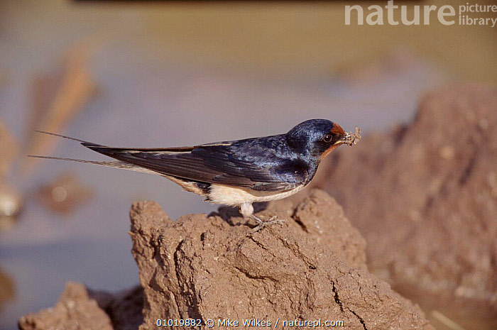 Barn swallow collecting mud for nest, Greece  ,  MUD,PASSERINES,MW,GREECE,COLLECTING,EUROPE,BIRDS,HORIZONTAL,NESTING BEHAVIOUR,REPRODUCTION  ,  Mike Wilkes