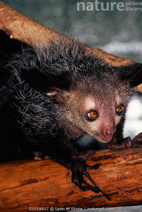 Aye Aye (Daubentonia madagascariensis) on branch, captive. Note specially adapted finger.  ,  ENDANGERED,MAMMALS,FACES,FINGER,LS,CAPTIVE,BRANCH,PRIMATES,PORTRAITS ,lemurs  ,  Lynn M Stone