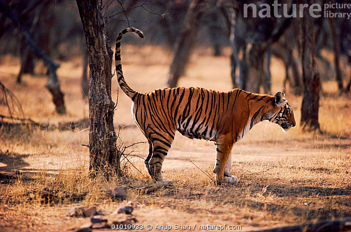 Tigress marks home range, spraying urine on tree. (Panthera tigris) Ranthambhore NP India  ,  AS,BIG CATS,CARNIVORES,CATS,ENDANGERED,FEMALES,INDIA,MAMMALS,MARKING,MARKS,NATIONAL PARK,NP,RANGE,RANTHAMBHORE,SPRAYS,TERRITORIAL,TERRITORY,TIGERS,TREE  ,  Anup Shah