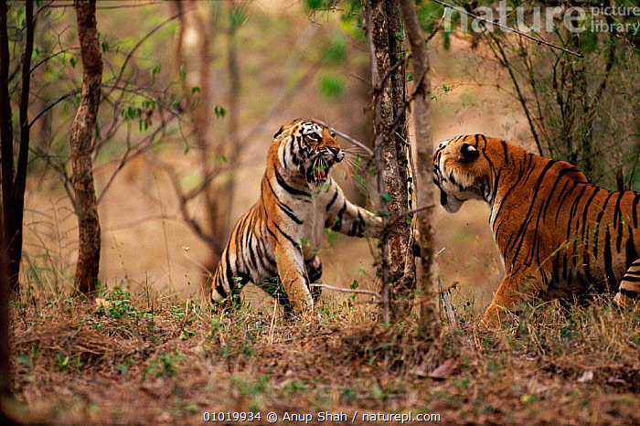 Tigresses fight in dispute over home range (Panthera tigris) Ranthambhore NP India  ,  AGGRESSION,AS,ASIA,BIG CATS,CARNIVORES,CATS,CONCEPTS,DISPUTE,FEMALES,FIGHTING,HOME,INDIA,INDIAN SUBCONTINENT,MAMMALS,RANGE,RANTHAMBHORE,TERRITORIAL,TERRITORY,TIGERS  ,  Anup Shah