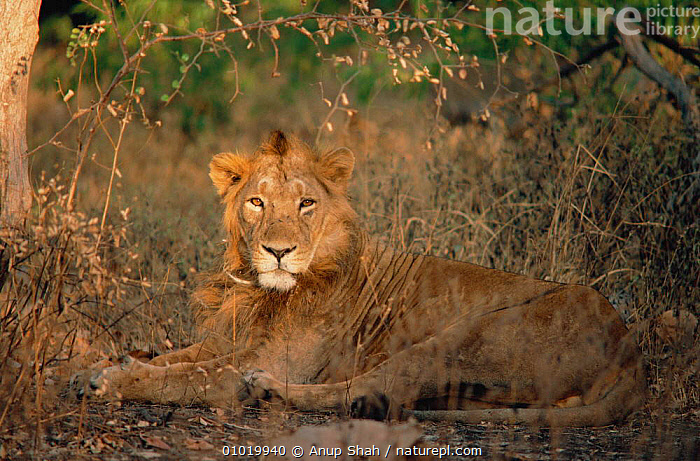 Male Asiatic lion lying in grass (Panthera leo) Gir forest, India  ,  AS,ENDANGERED,FOREST,INDIA,INDIAN SUBCONTINENT,MALES,MAMMALS,PORTRAITS,ASIA,LIONS,BIG CATS  ,  Anup Shah