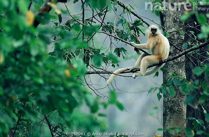 Golden langur rests in tree. (Presbytis geei) Manas NP Bhutan  ,  PRIMATES,TREE,INDIAN SUBCONTINENT,MAMMALS,LANGURS,PORTRAITS,Asia,Monkeys  ,  Anup Shah