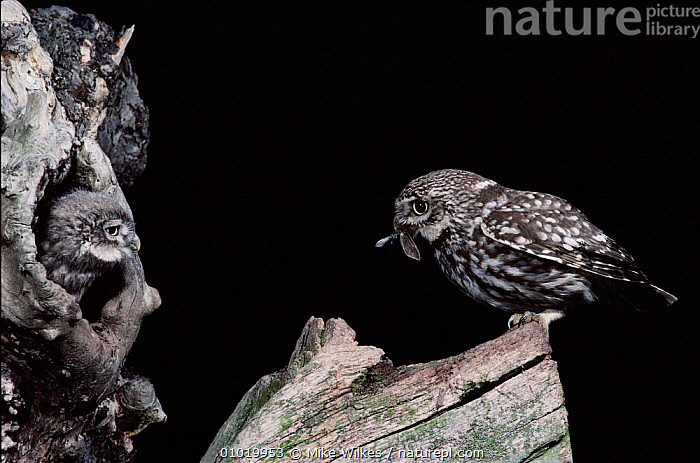 Little Owl about to feed young at nest. Warwickshire, UK  ,  CHICK,EUROPE,JUVENILE,NIGHT,UK,ENGLAND,FAMILIES,FEEDING,NESTING BEHAVIOUR,MW,,PREY,BIRDS,HORIZONTAL,WARWICKSHIRE,PARENTAL ,BIRDS OF PREY,UNITED KINGDOM,REPRODUCTION,BRITISH,OWLS,RAPTOR  ,  Mike Wilkes