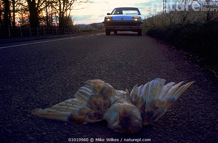 Barn Owl road kill, in England.  ,  NIGHT,DEATH,BIRDS,ENGLAND,UK,DEAD,HORIZONTAL,ROADS,MW,,TRAFFIC,EUROPE ,BIRDS OF PREY,UNITED KINGDOM,BRITISH,OWLS,RAPTOR  ,  Mike Wilkes
