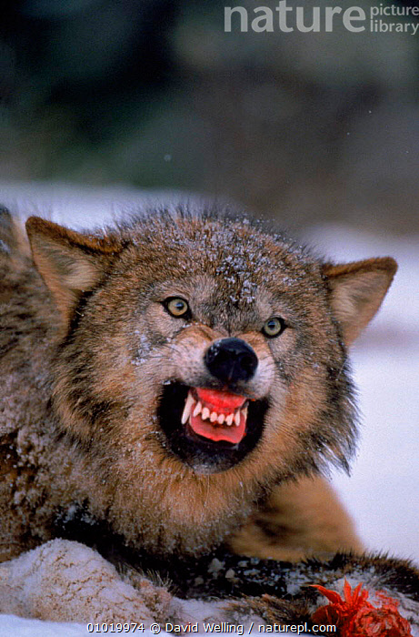 Grey wolf snarling over carcass in snow  ,  BEHAVIOUR,CANIDS,CAPTIVE,CARCASS,CARNIVORES,DEFENSIVE,DOGS,DOMINANCE,DW,FACES,FEEDING,FIERCE,MAMMALS,PREDATION,PUBLICITY,SNARLING,SNOW,TEETH,WINTER,WOLVES  ,  David Welling
