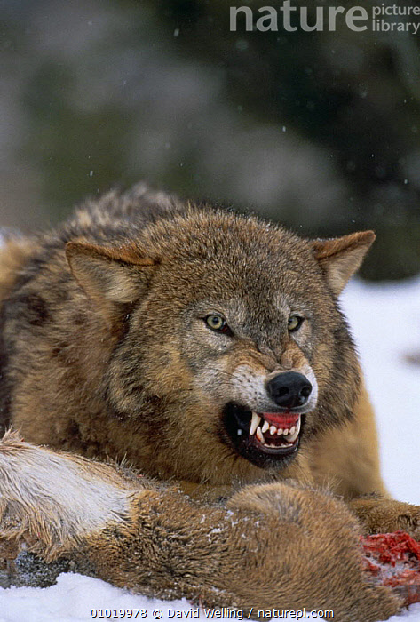 Grey wolf {Canis lupus} snarling over carcass in snow, captive  ,  AGGRESSION,BEHAVIOUR,CANIDS,CARNIVORES,DEFENSIVE,DOMINANCE,FACES,FEEDING,MAMMALS,NORTH AMERICA,PREDATION,SNOW,TEETH,VERTEBRATES,VERTICAL,WINTER,WOLVES,Concepts,Dogs  ,  David Welling