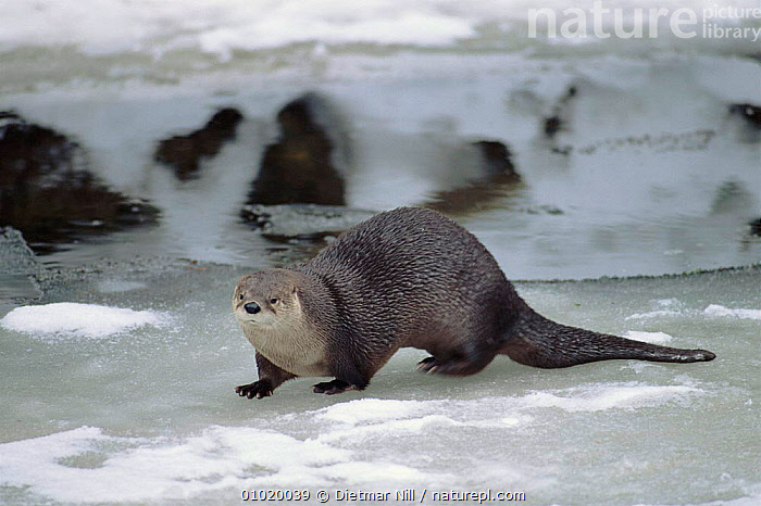European River Otter in winter, Germany  ,  CARNIVORES,DN,EUROPE,GERMANY,HORIZONTAL,ICE,MAMMALS,MUSTELIDS,RIVERS,SNOW,WINTER  ,  Dietmar Nill