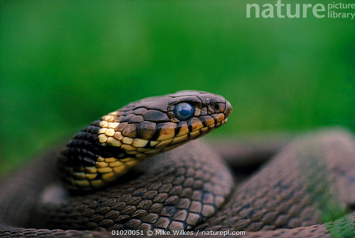 Grass snake close-up of head, UK  ,  REPTILES,UK,HORIZONTAL,ENGLAND,MW,HEADS,SNAKES,EUROPE,UNITED KINGDOM,BRITISH,Plants  ,  Mike Wilkes