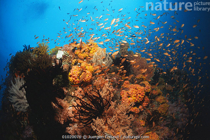 Coral reef with fish, Phillippines, Pacific Ocean., CORAL REEFS,CORALS,FISH,INVERTEBRATES,OCEAN,OCEANIA,PACIFIC,PACIFIC OCEAN,PEACEFUL,UNDERWATER,Marine,Concepts,Anthozoans, Cnidaria, Jurgen Freund