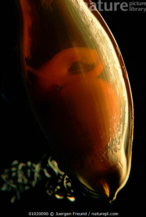 Eggcase of Swell shark showing embryo. (C. ventriosum) Pacific Cephaloscyllium, USA,SHARKS,EGGCASE,EMBRYO,VERTICAL,FISH,COASTAL WATERS,PACIFIC,UNDERWATER,EGGS,MARINE,NORTH AMERICA, Fish,Catalogue1, Jurgen Freund