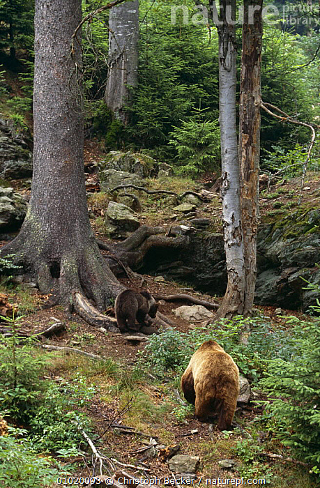 Female Brown bear with cub {Ursus arctos}Bayerischer Wald, Germany, BABIES,BEARS,CARNIVORES,EUROPE,EUROPEAN,FAMILIES,FEMALES,GERMANY,HABITAT,JUVENILE,MAMMALS,MIXED WOOD,VERTEBRATES,VERTICAL,WOODLANDS,YOUNG, Christoph Becker