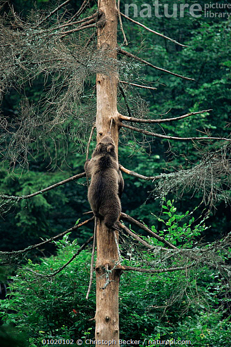 Brown bear cub climbing tree (Urus arctos) Bayerischer Wald, Germany.   captive, BEARS,CARNIVORES,CLIMBING,EUROPE,GERMANY,JUVENILE,MAMMALS,MIXED WOOD,TREES,VERTEBRATES,VERTICAL,WOODLANDS,Plants, Christoph Becker