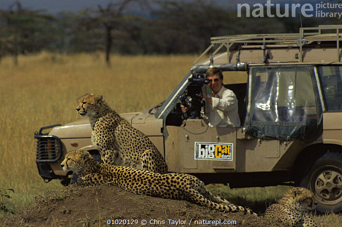 Camerman Richard Matthews filming Cheetah (Fundi) with cubs, for Big Cat Diary,  Masa Marai Kenya. 1990s, CUBS,EAST AFRICA,FAMILIES,FEMALES,FILMING,JUVENILE,MAMMALS,NHU,PEOPLE,VEHICLES,Africa, Chris Taylor