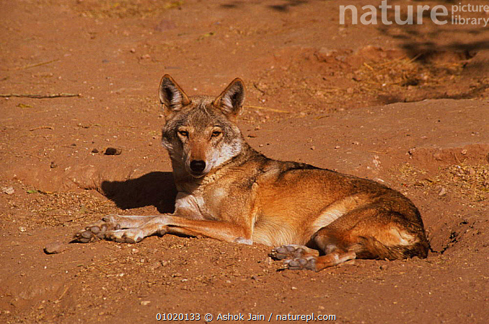 Indian grey wolf (Canis lupus) at rest in dirt, Bikaner, Rajasthan, India, CANIDS,CARNIVORES,ENDANGERED,INDIAN SUBCONTINENT,MAMMALS,PAWS,PORTRAITS,RARE,VERTEBRATES,WOLVES,Asia,Dogs, Ashok Jain