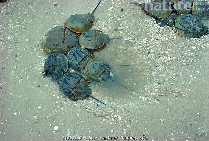 Male Horseshoe crabs mating with female. (L. polyphemus) NJ, USA. Limulus, HORIZONTAL,NJ,USA,MALE,ARTHROPODS,FEMALE,MATING,MATING BEHAVIOUR,GROUPS,MALES,CRABS,LITTORAL,NORTH AMERICA,INTERTIDAL,REPRODUCTION, Doug Wechsler