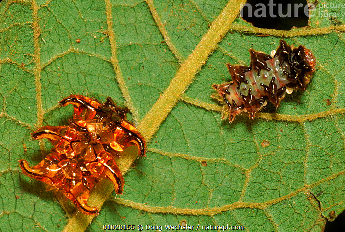 Slug caterpillar moth larva with moulted skin, Costa Rica, CENTRAL AMERICA,COSTA,DWE,INSECTS,INVERTEBRATES,LARVAE,LEPIDOPTERA,MOTHS,MOULT,MOULTING,RICA, Doug Wechsler