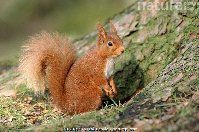 Portrait of Red squirrel at base of Scots pine tree, Scotland, BESIDE,BRITISH,CONIFEROUS,CUTE,EUROPE,MAMMALS,NB,OUTSTANDING,PINE,PORTRAIT,PORTRAITS,RODENTS,SCOTLAND,SCOTS,SQUIRRELS,UK,UNITED KINGDOM, Niall Benvie
