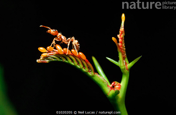 Ants collecting Beltian bodies from Acacia tree, Costa Rica, ACACIA,BELTIAN,CENTRAL AMERICA,CONCEPTS,COSTA,HORIZONTAL,HYMENOPTERA,INSECTS,INVERTEBRATES,NL,PARTNERSHIP,RICA,SYMBIOSIS, Neil Lucas