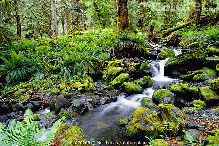 Water fall in Olympic National Park, Washington state USA, ANCIENT,CONCEPTS,FERNS,GREEN,NATIONAL PARK,NL,NORTH AMERICA,NP,OLYMPIC,PEACEFUL,PLANTS,STREAM,TEMPERATE RAINFOREST,WATER,WATERFALLS,USA, Neil Lucas