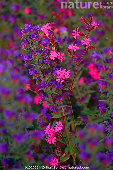 Red campion and Vipers bugloss (Silene dioica and Echium vulgare) Scotland, UK, BUGLOSS,FLOWERS,NB,COLOURFUL,VULGARE,DIOICA,MEADOWLAND,ECHIUM,SCOTLAND,VERTICAL,PLANTS,VIPERS,UK,EUROPE,UNITED KINGDOM,GRASSLAND,BRITISH, Niall Benvie