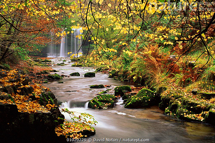 Sgwwd yr Eira waterfall, Brecon Beacons NP Wales UK, EIRA,LANDSCAPES,BRECON,SCENIC,YR,AUTUMN,BEACONS,UK,WOODLAND,NP,EUROPE,WATER,HORIZONTAL,DNO,RIVERS,WOODS,FRESHWATER,RESERVE,WATERFALLS,MIXED WOOD,SGWWD,WATERFALL,UNITED KINGDOM,BRITISH,NATIONAL PARK,WALES, United Kingdom, United Kingdom, United Kingdom, United Kingdom, United Kingdom, David Noton