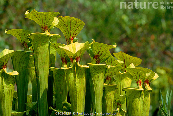 Sweet Pitcher plants, USA (Sarracenia rubra), ,PLANTS,HORIZONTAL,NL,USA ,INSECTIVOROUS,NORTH AMERICA, Neil Lucas