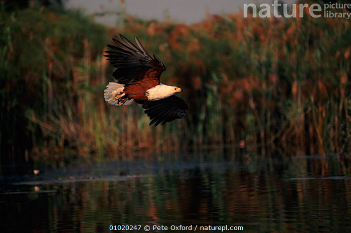 African fish eagle fishing, Okavango Delta, Botswana, REFLECTIONS,BOTSWANA,PREDATION,SOUTHERN AFRICA,,PO,BIRDS,FLYING,OKAVANGO,FISHING,DELTA,WETLANDS,AFRICA ,BIRDS OF PREY,BEHAVIOUR,EAGLES,RAPTOR, Pete Oxford