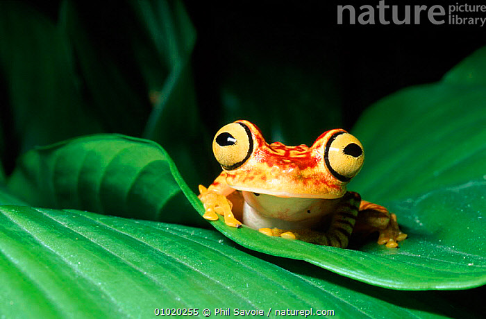 Rainforest tree frog on leaf, Ecuador, South America, AMPHIBIANS, Anura, CUTE, EYES, FROGS, HORIZONTAL, HUMOROUS, outstanding, TREE-FROGS, TROPICAL-RAINFOREST, VERTEBRATES, VERTICAL, WEIRD, YELLOW,Concepts, Phil Savoie