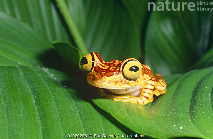 Chachi tree frog on leaf (Hyla picturata) Ecuador, South America, amazonia, AMPHIBIANS, Anura, CUTE, EYES, FACES, FROGS, HUMOROUS, PORTRAITS, SOUTH-AMERICA, TREE-FROGS, TROPICAL, TROPICAL-RAINFOREST, VERTEBRATES,Concepts, Phil Savoie