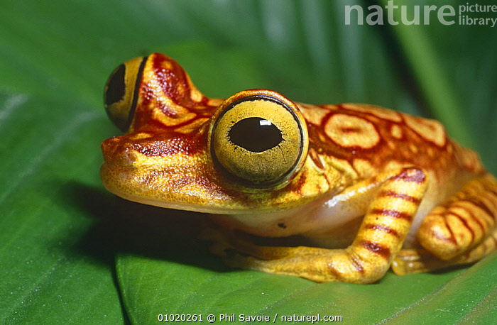 Chachi tree frog on leaf (Hyla picturata) Ecuador, South America, amazonia, AMPHIBIANS, Anura, EYES, FACES, FROGS, HEADS, HUMOROUS, PORTRAITS, SOUTH-AMERICA, TREE-FROGS, TROPICAL, TROPICAL-RAINFOREST, VERTEBRATES,Concepts, Phil Savoie