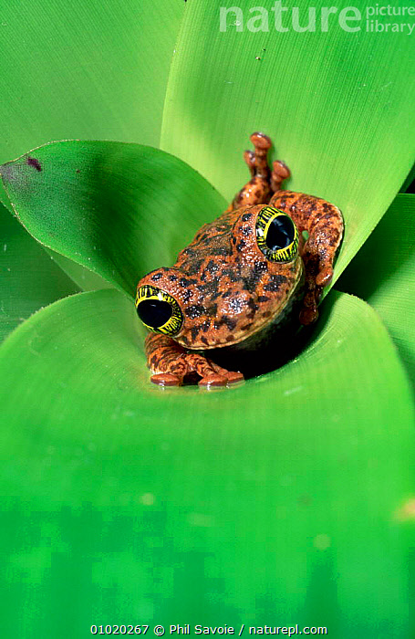 Treefrog female laying eggs in Bromeliad plant pool for her tadpoles to eat, Brazil, AMPHIBIANS,BEHAVIOUR,CUTE,EYES,FACES,FEMALES,INTERESTING,PARENTAL,SOUTH AMERICA,TREEFROGS,TROPICAL RAINFOREST,VERTICAL,WEIRD, Phil Savoie