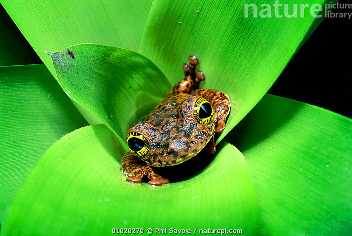 Tree frog (Ostocephalus oophagus) in bromeliad, female lays eggs for her tadpoles to eat. Brazil, South Americal, AMPHIBIANS,BEHAVIOUR,BROMELIADS,CUTE,EYES,FACES,FEMALES,HABITAT,INTERESTING,OUTSTANDING,PARENTAL,PSA,RAINFOREST,REPRODUCTION,SOUTH AMERICA,TREEFROGS,TROPICA,TROPICAL RAINFOREST, Phil Savoie