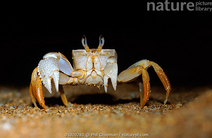 Ghost crab on beach at night, Madagascar  ,  CRUSTACEANS,COASTS,HORIZONTAL,MADAGASCAR,NIGHT,PORTRAITS,ARTHROPODS,EYES,PCH,BEACHES,INVERTEBRATES  ,  Phil Chapman