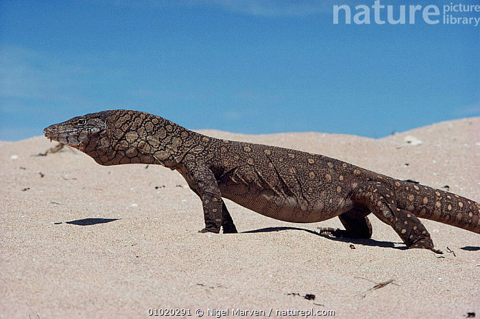 Perentie walking across sand. Australia, NM,HORIZONTAL,AUSTRALIA,PORTRAITS,LIZARDS,WALKING,DESERTS,SAND,REPTILES,,Lizards,,,Lizards,, NIGEL MARVEN