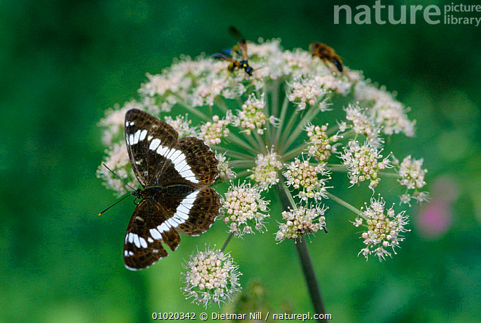White admiral (Limenitis camilla) resting on umbellifer flower Germany, , ARTHROPODS, BUTTERFLIES, EUROPE, GERMANY, INSECTS, INVERTEBRATES, LEPIDOPTERA, PORTRAITS, WINGS, Dietmar Nill