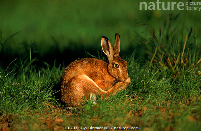 European hare cleaning its foot, Germany, EUROPE,MAMMALS,BROWN,PORTRAITS,DN,GERMANY,HORIZONTAL,GROOMING,CLEANING,HARES,LAGOMORPHS, Dietmar Nill