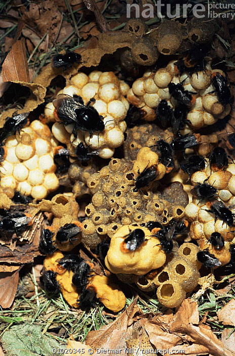 Red tailed bumble bees on nest (Bombus lapidarius) Germany, BEES,BUMBLEBEES,COOPERATION,EUROPE,GERMANY,HYMENOPTERA,INSECTS,INVERTEBRATES,PORTRAITS,RED,SOCIAL BEHAVIOUR, Dietmar Nill