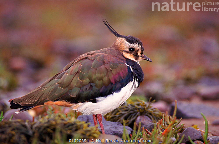 Lapwing at high tide roost. Montrose, Angus, Scotland, BIRDS,HORIZONTAL,SUMMER,UK,MONTROSE,PORTRAITS,SCOTLAND,EUROPE,WADERS,NB,UNITED KINGDOM,BRITISH,PLOVERS, Waders, Niall Benvie