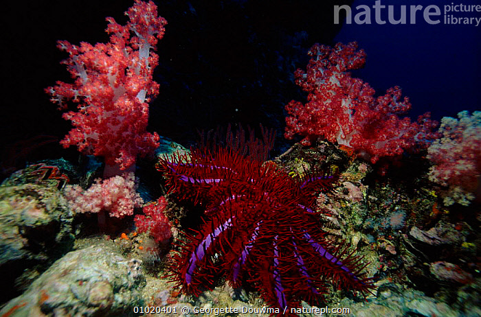 Crown of Thorns starfish on coral-reef, Andaman Sea, Indian Ocean, ANDAMAN,ASIA,COLOURFUL,CORAL,CORAL REEFS,ECHINODERMS,GD,HORIZONTAL,INDO PACIFIC,INVERTEBRATES,MARINE,PURPLE,RED,REEF,SOUTH EAST ASIA,Starfish, Starfish, Georgette Douwma