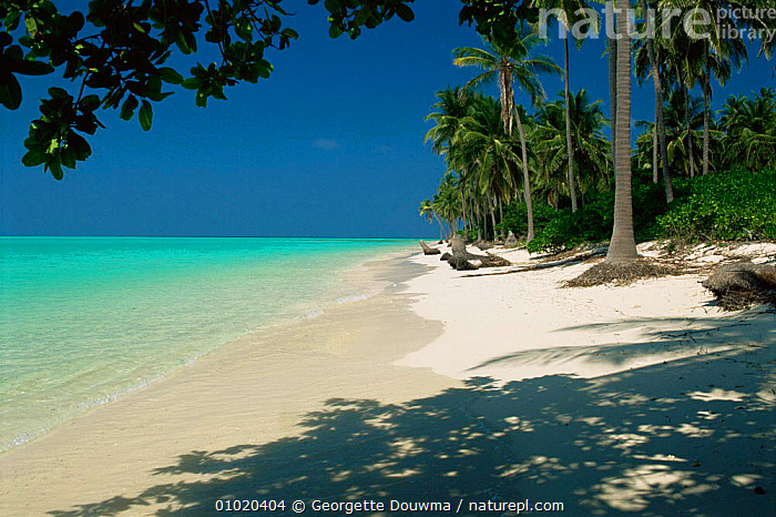 Beach on Laccadive Islands, Indian Ocean - blue sky, turquoise sea and empty white sand beach, ASIA,BEACHES,COASTAL WATERS,COASTS,HOLIDAYS,INDIAN OCEAN,INDIAN SUBCONTINENT,LANDSCAPES,MARINE,OCEAN,SEA,SHORELINE,TREES,TROPICAL,Concepts,Plants, Georgette Douwma