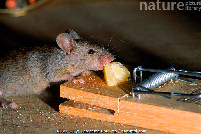 House mouse (Mus musculus) taking cheese from a mouse trap. C England Pests, MICE,PESTS,CHEESE,CAPTIVE,HUMOROUS,TRAPPING,EUROPE,TRAP,FEEDING,HORIZONTAL,RODENTS,MAMMALS,ENGLAND,MOUSE,CONCEPTS,MURIDAE, Georgette Douwma