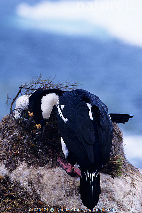 Blue eyed cormorant (Phalacrocorax atriceps) building nest,  Antarctic peninsula, ANTARCTICA, BIRDS, COASTS, CORMORANTS, nesting-behaviour, NESTS, SEABIRDS, SOUTH-AMERICA, VERTEBRATES, VERTICAL,Reproduction, Lynn M Stone