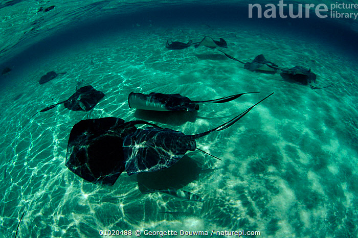 Southern stingrays in shallows off Cayman Islands, GROUPS,CARIBBEAN,HORIZONTAL,CAYMAN,FISH,GD,MARINE,West Indies,Catalogue1, Georgette Douwma