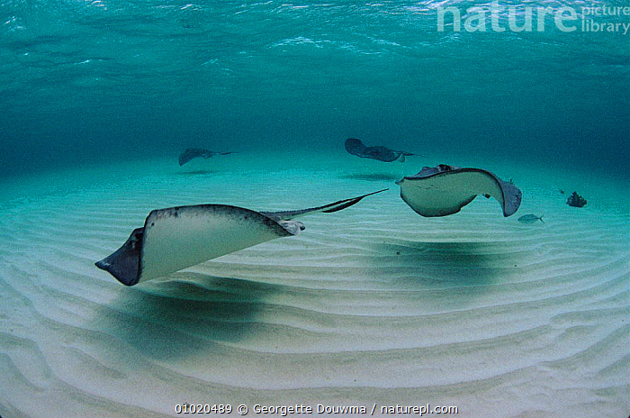 Southern stingrays in shallows off Cayman Islands, COASTAL WATERS,FISH,CARIBBEAN,GD,SEA,CAYMAN,HORIZONTAL,GROUPS,MARINE,SAND,West Indies,Catalogue1, Georgette Douwma