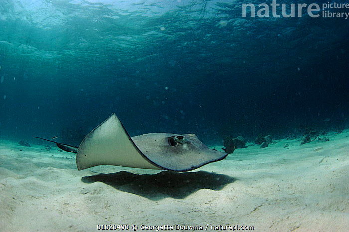 Southern stingray swimming  in shallows off Cayman Islands, GD,SAND,COASTAL WATERS,MARINE,CARIBBEAN,CAYMAN,FISH,HORIZONTAL,PORTRAITS,West Indies, Georgette Douwma